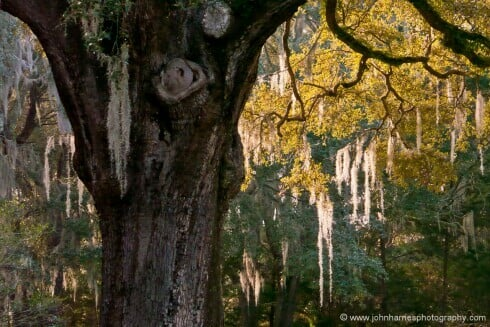 """This photo just screams """"The South"""", at least to me. I really like the long evening light making the spanish moss glow, and the contrast to the gnarled old live oak trunk. Like the last shot, this is really pushing the capabilities of my rather old mirrorless camera. And since I was not using a tripod, I had to push the ISO to get a fast enough shutter speed in the late evening light, even with the image stabilized zoom I was using. So the shot is both noisy and a bit soft from camera shake. A few years ago I would have discarded it. But lately I have learned that the strength of an image and its importance to the story being told trump a few small technical issues that most people will never notice. That is not to say that I ignore the importance of craft, but if the choice is no shot, or pushing the technical envelope, I will make more compromises than I used to."""