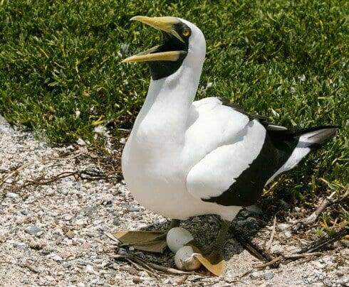 Masked booby at Ilha Siriba