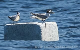 Surfing terns – a new use for floating debris
