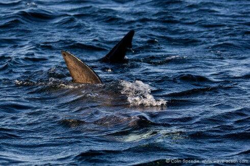 A basking shark feeding, Coll