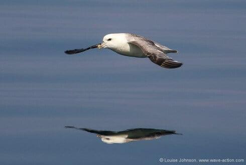 Gliding fulmar, Coll