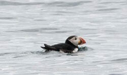 A puffin checks us out.